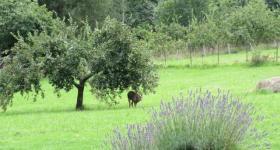 Roe Deer el gran sueño