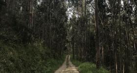 Asturian Eucalyptus Forest